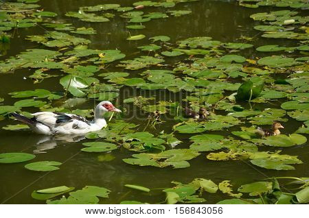 Duck And Two Ducklings Are Swimming In A Lake Among Lotus Leaves