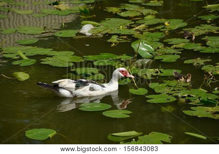Duck with ducklings in a lake polluted with a plastic bag