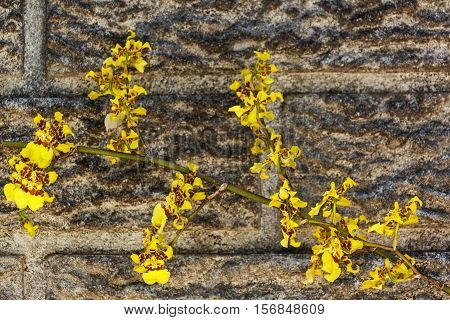 Bright Yellow Oncidium Orchid Flowers Against Precast Cement Wall
