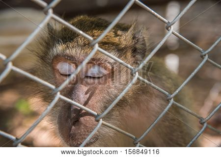 Monley sleep in the cage,Pig - tailed Magaque (Macaca nemestrina) in the cage