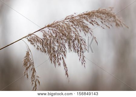dried bush grass panicles on natural background.