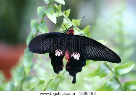 Amazing Butterfly With Wings Open In Nature