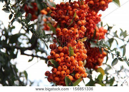 Forest Berries / Bright rowan berries close-up