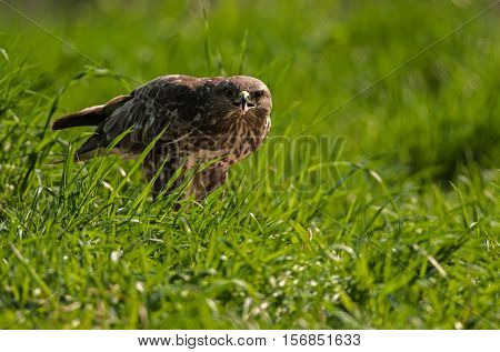 Buzzard (Buteo buteo) in the summer in the meadow eats hunted prey. Clearly visible pieces of meat on the beak of the victims. Poland Masuria district. Horizontal view.