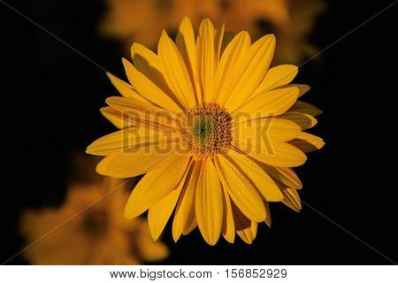 Close-up yellow daisy flower in the nature with a black background