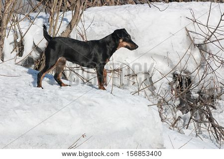 Jagdterrier on walk in the winter wood