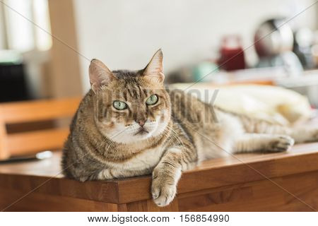 fat domestic cat at home