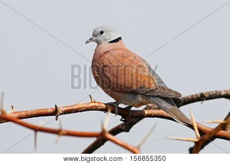 Red Collared Dove Streptopelia tranquebarica Male Birds of Thailand