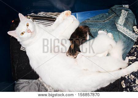 cute kitten sucks milk from mother breast mom cat feeding milk