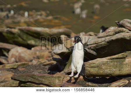 Rockhopper Penguin (Eudyptes chrysocome) jumping down the steep cliff to reach the sea from its nesting site on Saunders Island on the Falkland Islands.