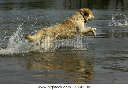 golden retriever is jumping into the water poster