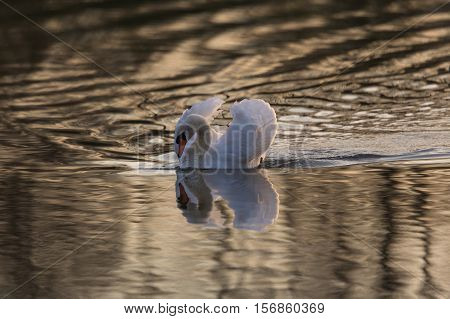 Mirrored mute swan (Cygnus olor) in golden evening light