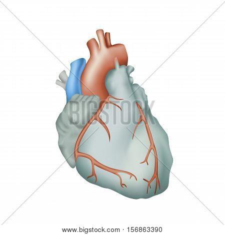 Human heart. Anatomy illustration. Colorful image, white background