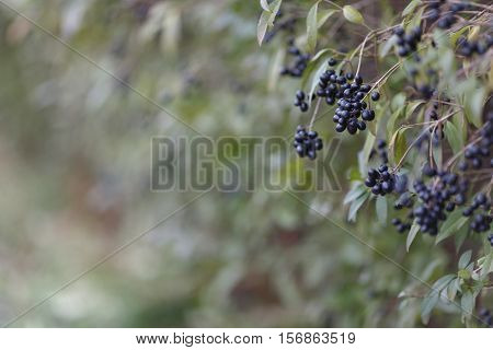Deep Blue And Glossy Berries On A Shrub Of The Wild Privet, Ligustrum Vulgare, In Autumn.