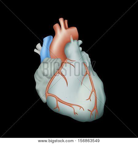 Human heart. Anatomy illustration. Colorful image, black background