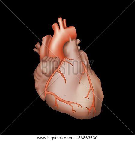 Human heart. Anatomy illustration. Red image, black background