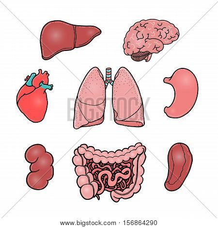 Set of human internal organs - brain, heart, liver, kidney, intestine, stomach, lungs, spleen, cartoon vector illustrations isolated on white background. Healthy human organs, anatomical illustrations