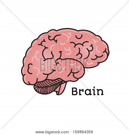Human brain, anatomical vector illustration isolated on white background. Healthy human brain, anatomical illustration, physiology, healthcare