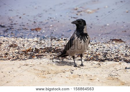 Hooded crow on the seaside - Corvus cornix.