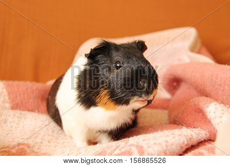 cute tricolor guinea pig on the pink blanket