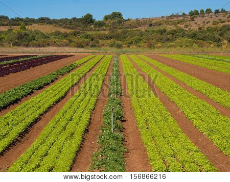 Lettuce field in agricultural area of southern France