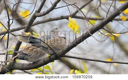 Dove (Streptopelia decaocto) sitting on tree branch