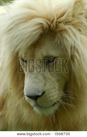 A rare white lion male predator head portrait watching other lions in a game park in South Africa poster