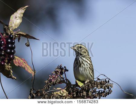 Savannah Sparrow sitting atop pokeweed plant in autumn