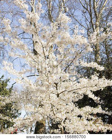 Plum tree in blossom, recorded in Varna, Bulgaria