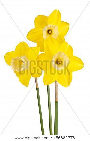 Three flowers and stems of the reverse-bicolor daffodil cultivar Lemon Brook isolated against a white background