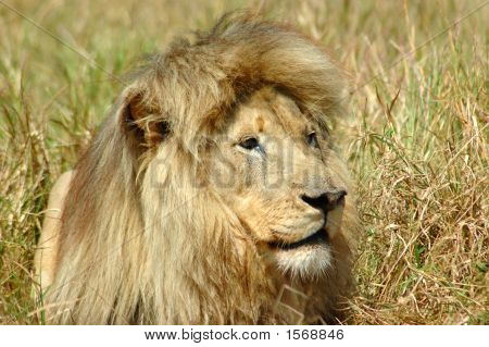 A portrait of a lion male predator with a big mane watching other lions in a game park in South Africa poster