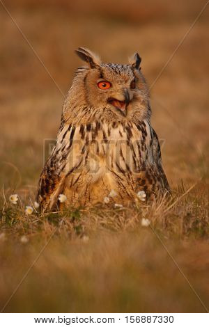 Eurasian eagle-owl hooting and sitting on the grass