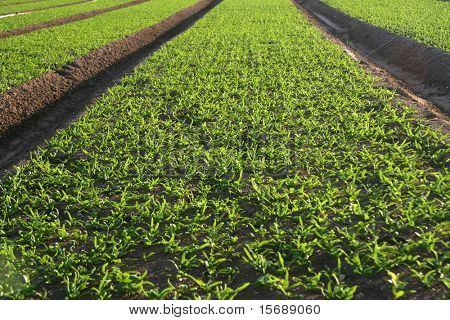 Field of new crops growing