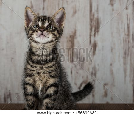 Few Weeks Old Tabby Kitten Tomcat On Light Wooden Background