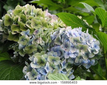 Pretty white and light blue hydrangea flower blossoms.