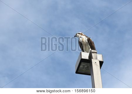 An Osprey perched atop a light post with a blue cloudy sky.