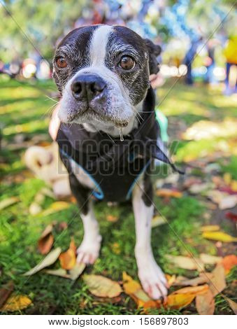 a cute boston terrier dog with a harness on in a local park standing in grass full of leaves during fall time