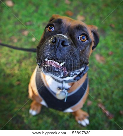 a funny boxer dog looking up toward the camera at a park with a smile (selective focus on the muzzle)