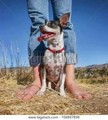 a cute rat terrier dog on a hot summer day at the top of a hill sitting in front of a person with bare feet