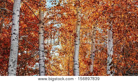 aspen trees in the fall with orange leaves on them signaling that autumn has arrived