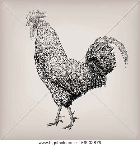 Cock cockerel rooster domestic bird farm animal poultry alive standing. Vector beautiful square closeup livestock agriculture sign signboard side view illustration black outline isolated background