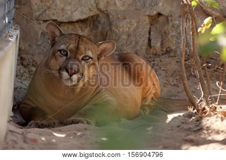 The Puma or mountain lion in the Caatinga of Brazil