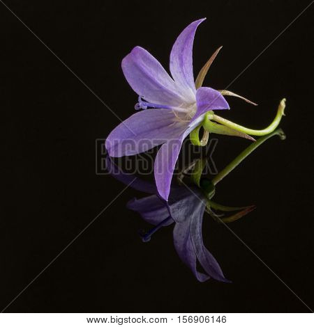 closeup of a peach-leaved bellflower on black background