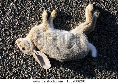 Dead Rabbit - Road Kill - Dead Rabbit hit by a car and laying in a road