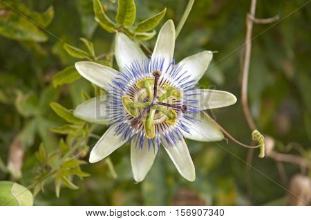It is image of Blue passionflower in Greece.
