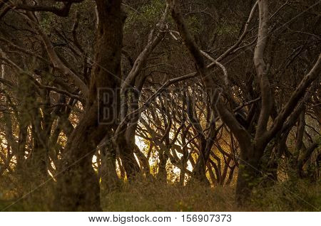 It is image of olive tree forest in Greece.