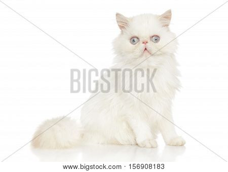 Persian cat. Portrait on a white background