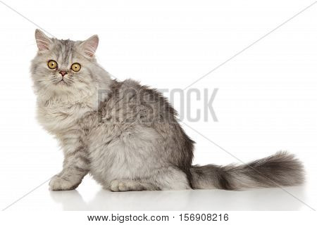 Grey Persian cat on a white background