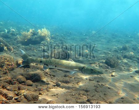 The Great Barracuda fish in ocean Bali