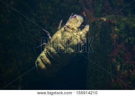 Mediterranean slipper lobster (Scyllarides latus).
